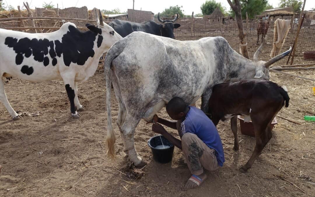 Einblick in die Milchwertschöpfungskette in Mali