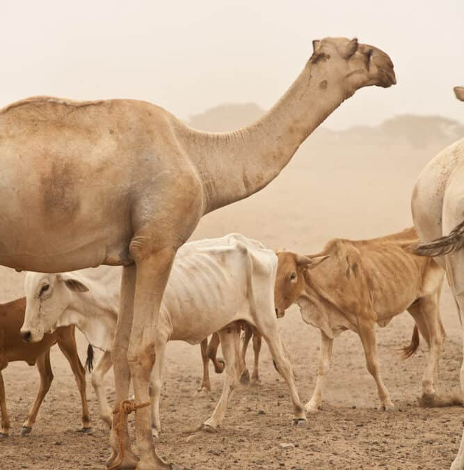 The Camel – Defying Droughts and Supporting Women!