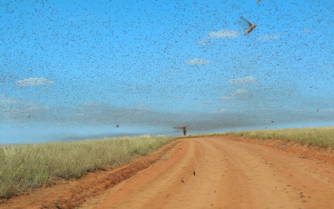 Heuschreckenplage in Ostafrika bedroht Bevölkerung durch Hungersnot