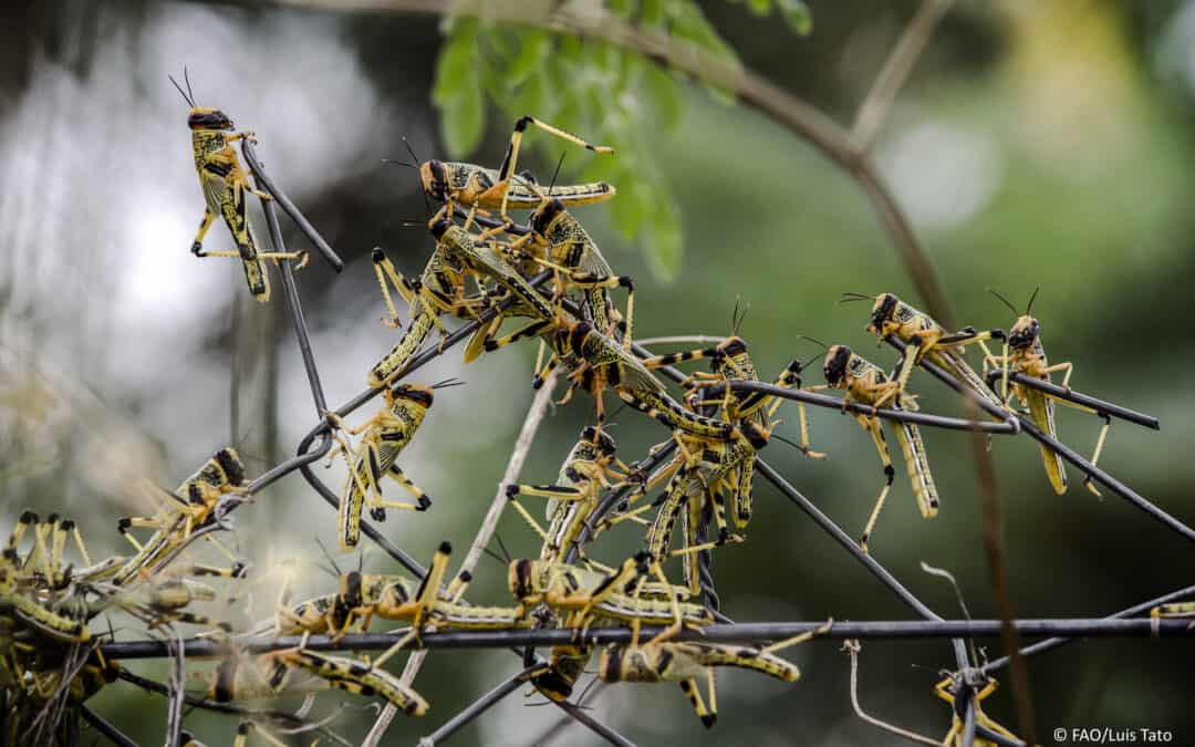 The locust plague in the Horn of Africa is far from over