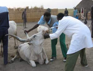 Eine von VSF-Suisse durchgeführte Entwurmungskampagne im Südsudan. © VSF-Suisse
